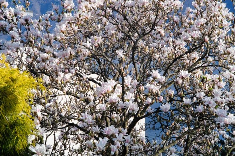 Unterwegs mit dem Carl Zeiss Contax Sonnar 1.5/50 mm – blühender Magnolienbaum.