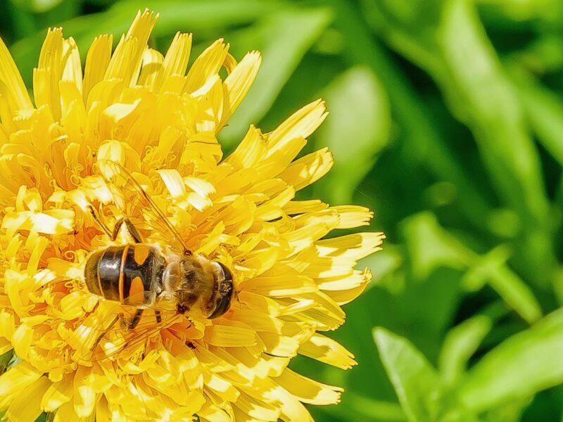 Keilfleckschwebfliege Eristalis tenax, 100%-Ausschnitt der Biene, 1/180 f11