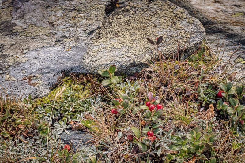 Alpine Flora, Sils-Maria, Engadine, Switzerland.